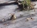 """Những con cá sấu ở Mỹ làm thế nào để sống sót qua """"bom bão tuyết""""?"""