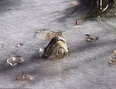 Kinh ngạc cách cá sấu sinh tồn trong hồ đóng băng ở Mỹ