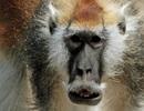 Khỉ râu trắng là một loài riêng biệt