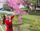 Chưa vào hội, hoa anh đào Đà Lạt đã bung nở rực rỡ