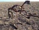 Hạn hán tàn khốc ở Australia, kangaroo chết khô xương