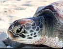 Biến đổi khí hậu đe dọa rùa biển xanh vì thiếu con... đực
