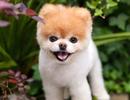 """""""Chú chó dễ thương nhất thế giới"""" vừa qua đời"""