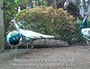 Clip: Thú chơi chim công của giới nhà giàu dịp Tết nguyên đán