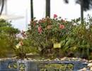 """Đỗ quyên bonsai """"hàng khủng"""" giá gần tỷ đồng chưng Tết ở Hà Nội"""