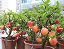 """Bi hài táo bonsai """"mọc"""" trên cây dâm bụt bán đầy đường phố Hà Nội"""