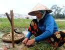 Kiệu rớt giá thê thảm, nông dân chưa thấy Tết