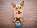 Chó nuôi với chế độ ăn không ngũ cốc dẫn tới nguy cơ mắc bệnh tim