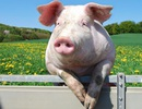 Thú vị hình ảnh của chú lợn trong các nền văn hoá trên thế giới