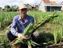 Phú Yên: Người trồng hoa Lay ơn lao đao vì giá giảm sâu