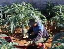 Độc đáo bonsai Atiso tiền triệu hút khách dịp Tết