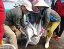 """Mẻ cá bè """"khủng"""" hơn 100 tấn của ngư dân Quảng Trị trị giá bao nhiêu?"""