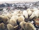 Nga ban bố tình trạng khẩn cấp vì gấu trắng Bắc Cực 'xâm chiếm' quần đảo
