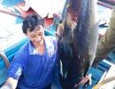 Bám biển xuyên Tết, ngư dân trúng đậm cá ngừ đại dương