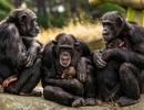 Ngôn ngữ kí hiệu của tinh tinh giống tiếng nói của loài người