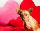 Dân Mỹ chi 751 triệu USD mua thú cưng tặng người yêu dịp Valentine