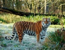 """Hổ quý hiếm bị vồ chết khi """"đi nhầm"""" vào lãnh thổ của đồng loại"""