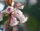 Kỳ ảo sắc hoa Đỗ Quyên trong mùa xuân mới