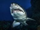 Tiết lộ gây sốc: Cá mập giúp con người sống lâu và chữa ung thư