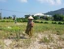 Quảng Ngãi xin Chính phủ hỗ trợ 90 tỷ đồng chống hạn