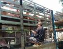 """""""Thủ phủ"""" heo Đồng Nai lập 2 chốt chăn ngăn dịch tả heo châu Phi xâm nhập"""