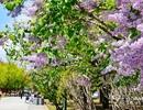 Hokkaido - Màu áo hoa rực rỡ của mùa xuân