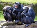 Vì sao con người không rậm lông như tinh tinh hay khỉ đột?