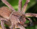 Nọc độc nhện có thể sớm được sử dụng để điều trị rối loạn cương dương