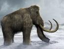 Bước tiến quan trọng trong việc đưa voi ma mút lông trở lại