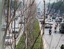 Hàng cây phong lá đỏ thay lá, ngả màu sang đen giữa phố Hà Nội