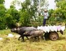Trâu kéo lúa ở miền Tây giữ lại nét văn hóa nông nghiệp Nam bộ