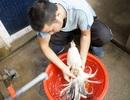 """Đại gia Đài Loan chi nghìn đô săn giống gà """"quý tộc"""" chỉ có ở Việt Nam"""