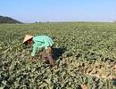"""Côn đồ trắng trợn đòi """"bảo kê"""", cướp """"bát cơm"""" nông dân nghèo tại Phú Yên!"""