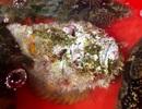 """Quảng Ngãi: Hiếm thấy cá mặt quỷ """"khủng"""" nặng hơn 3,5 kg như thế này"""