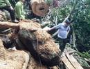 """Rừng bị tàn phá nghiêm trọng, kiểm lâm """"loay hoay"""" tìm thủ phạm"""