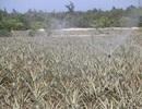 Quảng Trị: Doanh nghiệp nợ tiền thu mua dứa, người dân vùng cát lao đao!