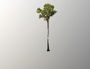 Phát hiện cây cao nhất thế giới có chiều dài hơn một sân bóng đá