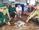 Bắt được rùa biển quý hiếm nặng 40kg