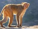 """Các nhà khoa học """"cấy"""" gene não người vào… khỉ gây tranh cãi"""