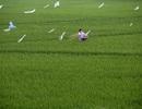 Bức tranh đồng quê xanh ngắt ở ngoại thành Hà Nội