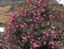 Cây hoa hồng khổng lồ trên đỉnh núi: Nở ngàn bông, 150 triệu đồng không bán