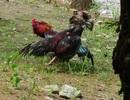 Truy bắt nhóm đối tượng bắn người tại trường gà