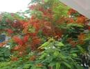 Man mác với mùa hoa học trò nở rộ vào hè