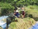 Bộ đội xuống đồng giúp dân gặt lúa bị ngã rạp sau trận mưa lớn