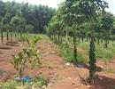 Vợ giám đốc lâm nghiệp lấn chiếm đất rừng do... chồng quản lý