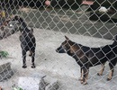 Vụ bé trai 7 tuổi bị chó cắn tử vong: Khởi tố chủ đàn chó