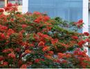 Hà Nội vào mùa hoa phượng vĩ nở đỏ rực rỡ