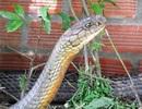"""An Giang """"cầu cứu"""" Bộ Nông nghiệp tìm chỗ ở mới cho cặp rắn hổ mang chúa"""