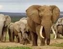 Zimbabwe kiếm gần 3 triệu USD nhờ bán voi cho Trung Quốc, Dubai