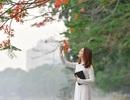 Thiếu nữ bâng khuâng kỷ niệm dưới tán phượng đỏ rực ven hồ